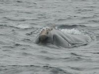 L'une des neuf baleines franches observées cet hiver par les scientifiques américains.