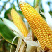 Maïs OGM controversé : les résultats de l'UE