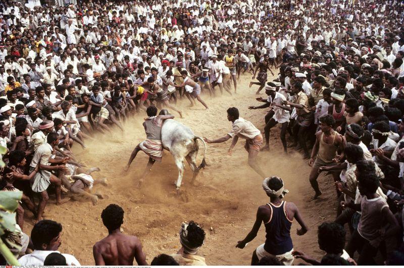 <strong>Corrida Tamoule</strong>. Au milieu d'une foule immense qui forme une véritable arène humaine, ce taureau lancé à pleine course tente d'échapper à ses poursuivants. Voici le Jallikattu, une tradition religieuse du Tamil Nadu, dans le sud de l'Inde, pratiquée chaque année à l'occasion de la fête du Pongal, ou célébration des moissons, qui marque le solstice d'hiver. En dépit de son apparente violence, cette course taurine rend hommage aux animaux qui ont accompagné le labeur des hommes dans les champs. Son principe est simple, il s'agit d'attraper à mains nues un ou plusieurs taureaux sous le regard bienveillant des brahmanes qui ont béni les bovins. Un jeu très dangereux qui rappelle autant la course camarguaise que le culte héroïque du taureau de la civilisation minoenne.
