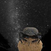 Un coléoptère se dirige à la lumière des étoiles