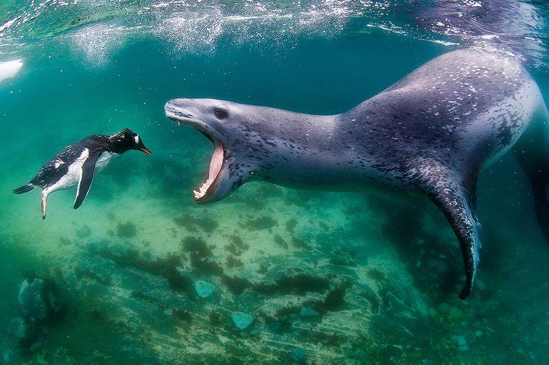 <strong>Amuse-gueule</strong>. Pour ce jeune manchot, presque résigné devant la gueule grande ouverte de ce léopard de mer affamé, la messe est dite. Dans quelques secondes à peine, il servira de repas à ce grand carnassier. Un destin qui attend de très nombreux manchots de l'année. Désorientés, sans expérience ou trop confiants, ceux-ci ne connaissent pas encore les dangers qui accompagnent leurs premières plongées dans les eaux glacées de l'Antarctique et se précipitent souvent, tête la première, face à leur principal prédateur. Taillé pour la chasse, le léopard de mer peut mesurer jusqu'à 4,50 m pour un poids de 600 kg. Massif, agile et rapide, ce chasseur pratique aussi bien l'affût que l'approche. Et quand il a repéré une proie, plus rien ne peut l'en détourner...