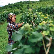 Des vins français produits en Birmanie