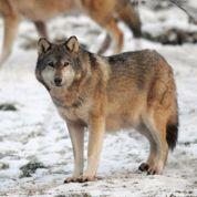 Un plan pour gérer les loups en France