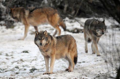 Un plan pour gérer la présence des loups en France