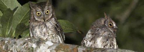 Une nouvelle espèce de hibou découverte en Indonésie