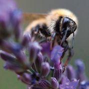 Les insectes pollinisateurs vont mal