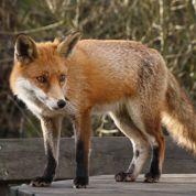 Vente de renards domestiques sur le Net