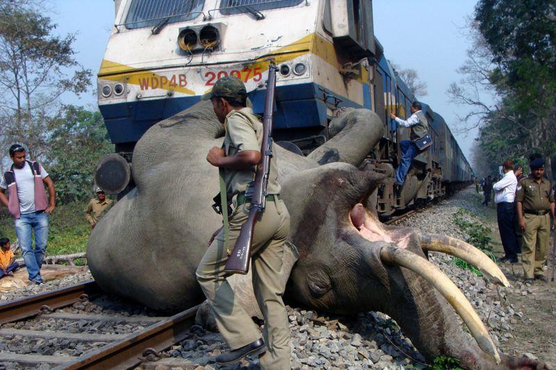<strong>Mortelle collision.</strong> Un train a tué un éléphant dans l'est de l'Inde, en le heurtant à grande vitesse. L'incident a eu lieu ce mardi dans la réserve de tigres de Buxa lorsque le convoi a percuté un troupeau de pachydermes sauvages qui traversait la voie ferrée. De toute évidence, l'organisme forestier local avait alerté la salle de contrôle de la possibilité de présence d'animaux mais trop tard. Cent-dix-huit éléphants sont morts lors de collisions avec des trains en Inde depuis 1987. Ce pays compte environ 26.000 éléphants sauvages considérés comme des animaux sacrés.