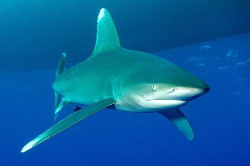 Le requin océanique à pointe blanche fait partie des espèces dont la pêche sera désormais contrôlée.