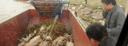 Chine : les cadavres de porcs se ramassent à la pelle