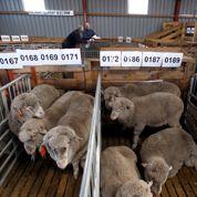 La découpe britannique des moutons accusée