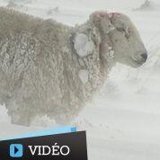 Des milliers de moutons piégés sous la neige