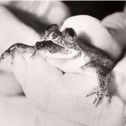 Une étrange grenouille en voie de réapparition