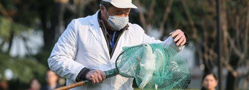 Shanghaï en alerte face à la grippe aviaire