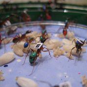 À la maison, les fourmis sont paresseuses