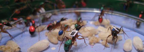 À la maison, les fourmis sont de grandes paresseuses