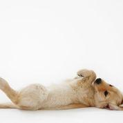 Surveillez l'estomac chez vos chiens de race