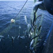 Le déclin des stocks de poissons