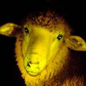 Un mouton OGM au service de la médecine