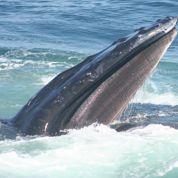 Les baleines se transmettent des techniques de chasse