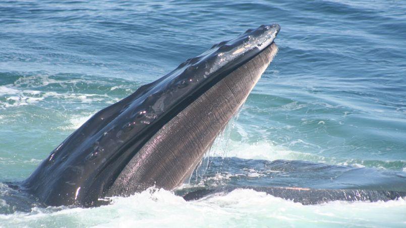 L'étude a porté sur des baleines à bosse du golfe du Maine, sur la côte nord-est des États-Unis.