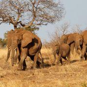 Les éléphants menacés de disparition