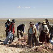 Le quinoa enfièvre la Bolivie
