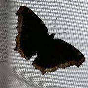 Un papillon doté d'une ouïe exceptionnelle