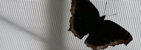 Un papillon de nuit doté d'une ouïe exceptionnelle