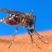 Vers des moustiques anti-paludisme