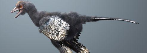 Un petit dinosaure chinois, nouvel ancêtre des oiseaux