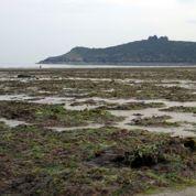 Le retour des algues vertes en Bretagne
