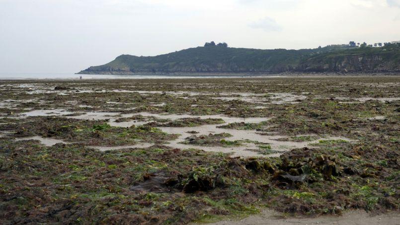 Le retour des algues vertes sur les côtes bretonnes
