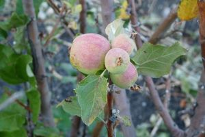 Pour récolter des pommes d'une taille convenable, gardez un à deux fruits maximum par bouquet.