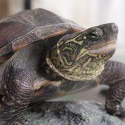 Les bébés tortues bougent dans leur œuf