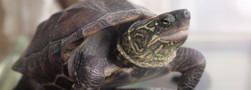 Les bébés tortues bougent dans l'œuf pour rester au chaud