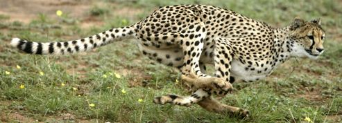 Dans la course du guépard, tout est dans l'accélération