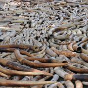 Philippines : des tonnes d'ivoire détruites