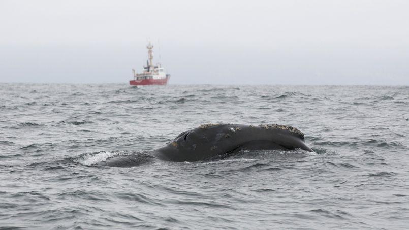 Cela faisait 60 ans qu'une baleine franche du Pacifique n'avait pas été aperçue au large des côtes canadiennes.