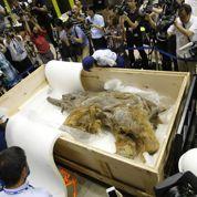 Un mammouth s'expose au Japon