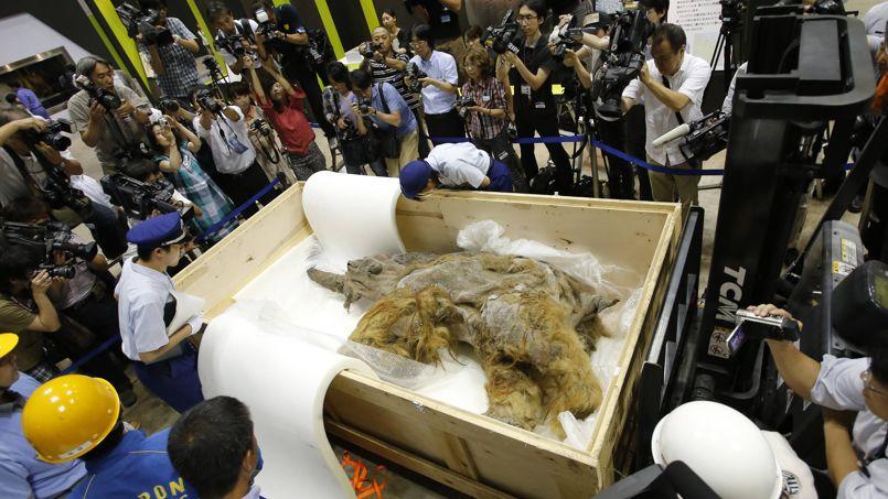 Découvert en Sibérie, ce bébé femelle mammouth vieux de 39.000 ans arrive le 9 juillet à Yokohama où il sera exposé. Les douaniers inspectent l'animal.