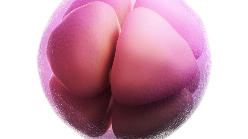 Image de synthède de cellules d'embryon humain en phase de division.