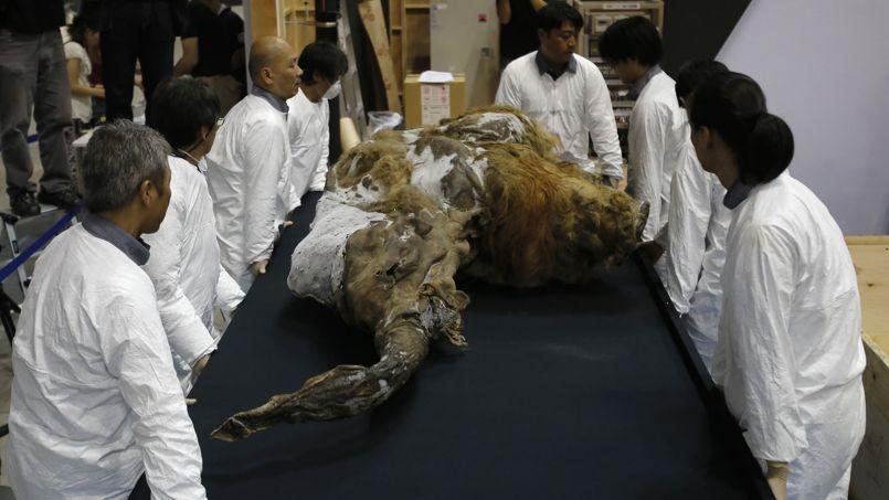Découverte en 2012 dans une falaise de la mer de Laptev, dans le nord de la Sibérie,Yuka était âgée d'environ trois ans au moment de sa mort datée d'il y a environ dix à trente mille ans.