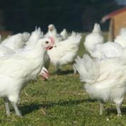 Le cri d'alarme des producteurs de volailles