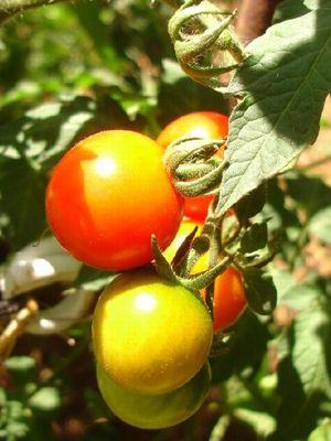 N'hésitez pas à récolter les tomates dès qu'elles commencent à jaunir: leur maturation étant enclenchée, elles finiront de mûrir même privées de sève.