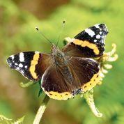 Dramatique déclin des papillons en Europe