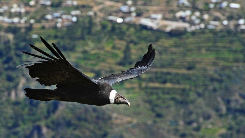 Le canyon de Colca, un lieu incontournable pour observer le vol majestueux du condor.