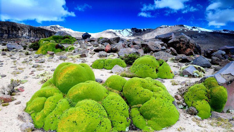 Les coussins vert-pomme de l'Azorella Compacta éclairent un paysage désertique situé entre 3200 et 5000 m d'altitude.