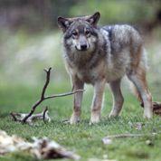 Loups : des éleveurs en appellent à Hollande