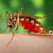 La piqûre du moustique filmée sous la peau